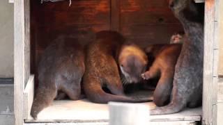 市川市動植物園コツメカワウソ130105 ぽかぽかランプのムツキ一家