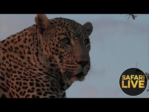safariLIVE - Sunset Safari - October 15, 2018