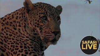 safariLIVE - Sunset Safari - October 15, 2018 thumbnail