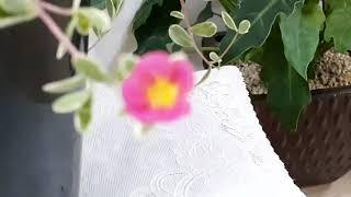 카멜레온 포체리카 꽃?