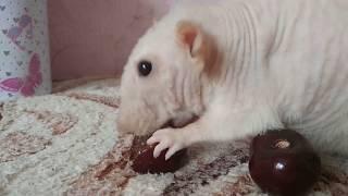 СИАМСКАЯ ЛЫСАЯ КРЫСКА СИМОЧКА  Декоративная крыса Видео про крыс Домашние крысы