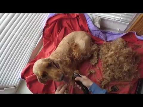 Спаниель Сёма весенняя стрижка . Как подстричь собаку дома :3