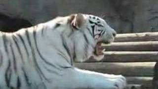 White Tiger Growls