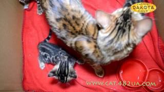 Бенгальские котята учатся ходить