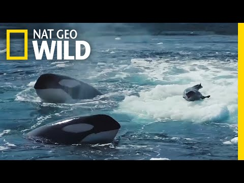 Watch a Crabeater Seal Evade a Pod of Hungry Orcas | Nat Geo Wild