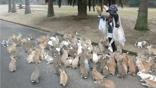 Rabbits  Bunny island in Japan; Pet rabbit died, woman crashes car because of tears   Compilation