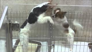 ペットショップで見かけた子犬同士の微笑ましい光景です。 ワイヤー・フ...