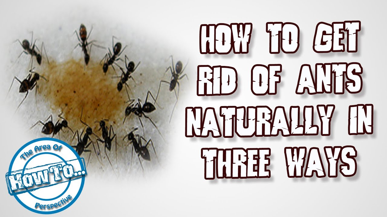 How To Get Rid Of Ants Naturally By 3 Ways