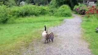 Handsome The Pomeranian Meets The Canadian Male Goose