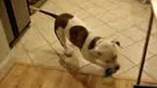 American Bulldog With A Case Of The Zoomies