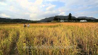 In the ripe paddy fields of Ziro, Arunachal