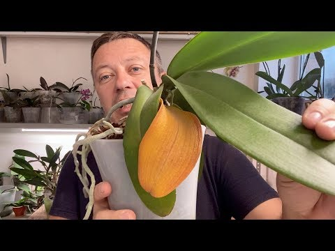 орхидеи ЖЕЛТЕЕТ и МОРЩИТСЯ лист - всегда ли это гниют корни орхидеи или основание?