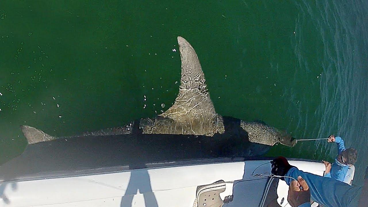 Huge Florida Keys Hammerhead Shark - YouTube
