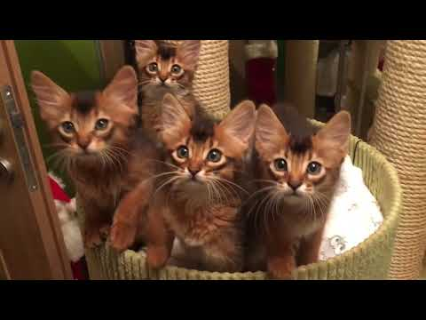 Somali kittens 9 weeks old