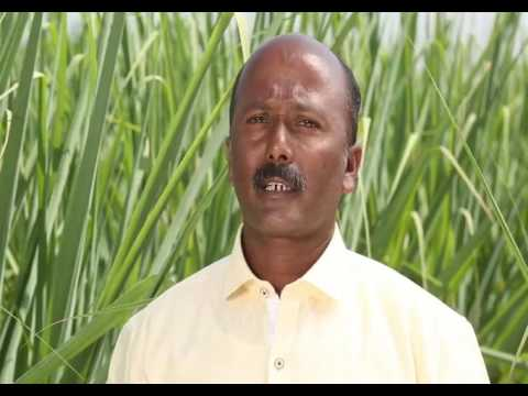 How to increase weight of Sugarcane crop