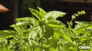 Pick the Flowers Off Your Growing Basil - CHOW Tip