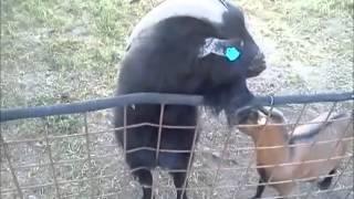 Kamerunské kozy v ZD Vrbátky u Prostějova 27.7.2013 - 2