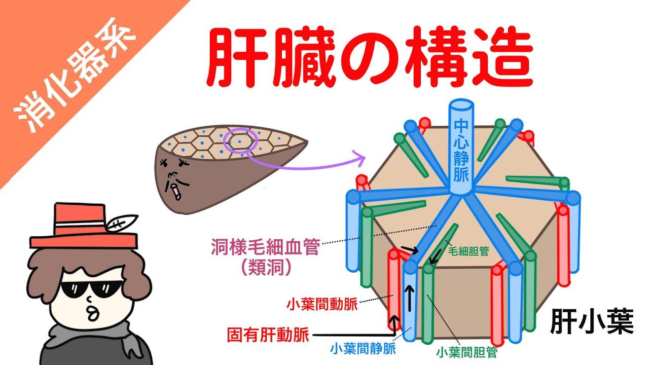 【イラスト解剖学】肝臓の構造
