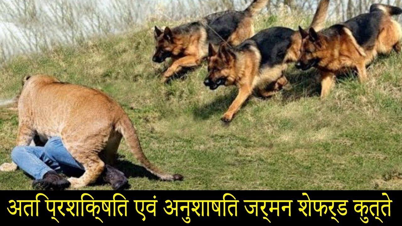 अति प्रशिक्षित एवं अनुशाषित जर्मन शेफर्ड कुत्ते | Extreme Trained & Disciplined German Shepherd