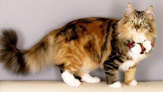 ¡No compre un gato siberiano que mire esto primero! ¡10 cosas que debes saber sobre el gato siberiano!