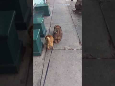 Brother Sister Double Lead, Norfolk Terriers!