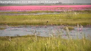 Wildlife in Thailand based at Kumphawapi
