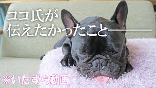 フレンチブルドッグの子犬ココです。 犬のいたずらシリーズ第3弾。 今回...