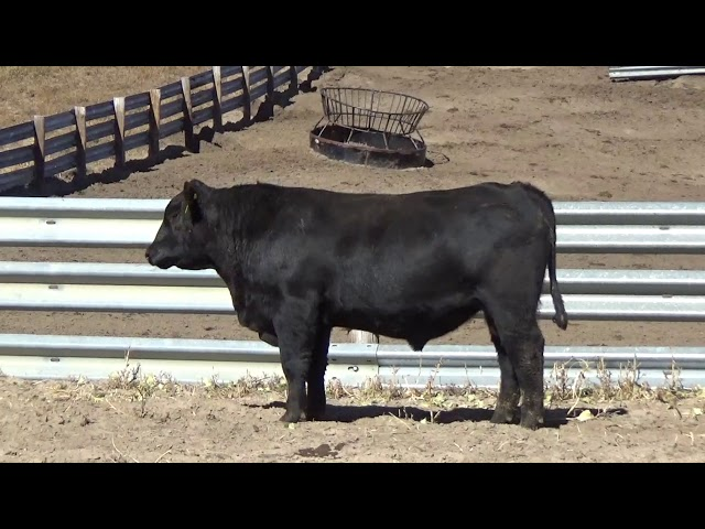 Connealy Angus Lot 166