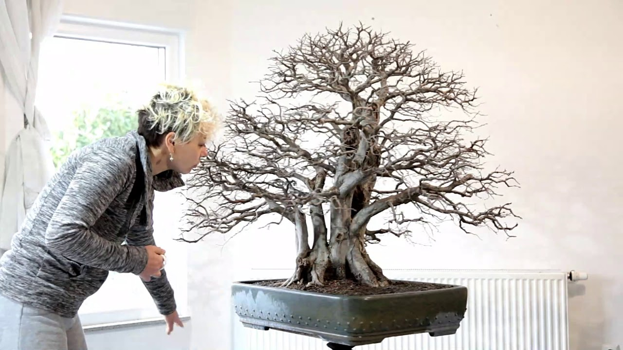 Carpinus Orientalis Emperor Won Nomination At Xx Thropy Belgium Meleda Bonsai Studio