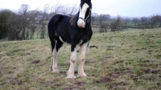003.AVI Shire Horses For Sale.  Biggest horses in the world.