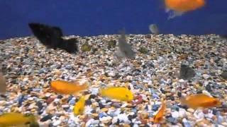 AQA.com.ua - Аквариумные рыбки - Цихлиды
