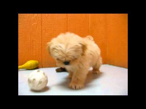 Lhasa Apso, Puppies, Dogs, For Sale, In Newark, New Jersey, NJ, 19Breeders, Paterson, Edison