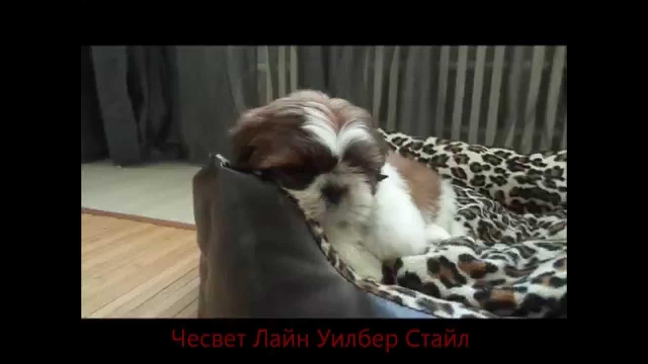 ши тцу щенок фото