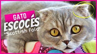 Gato Escocés | Scottish Fold  Características, personalidad y salud