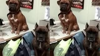 Как научить собаку командам/ Собака породы боксёр. Породы собак. Boxer Dog