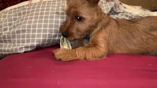 Henry, the Australian Terrier puppy dog steals a $10 bill!