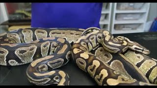 The difference between a fire ball python and a normal ball python....