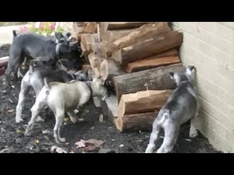 Ratting Dogs | Life With 6 Schnauzers