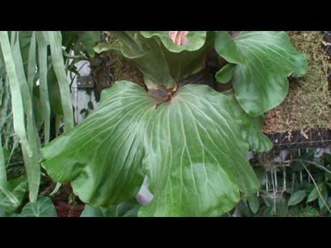 象耳鹿角蕨Platycerium elephantotis(2)