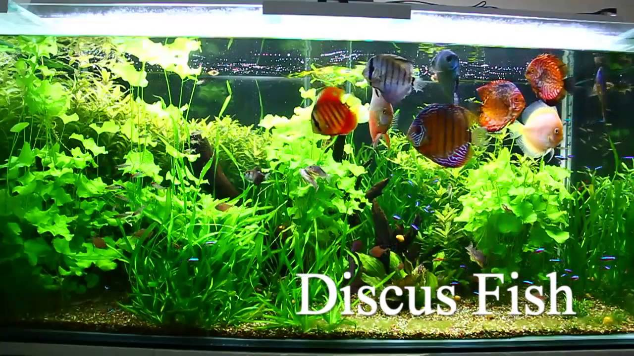 Beautiful And Colorful Discus Fish Tank - YouTube
