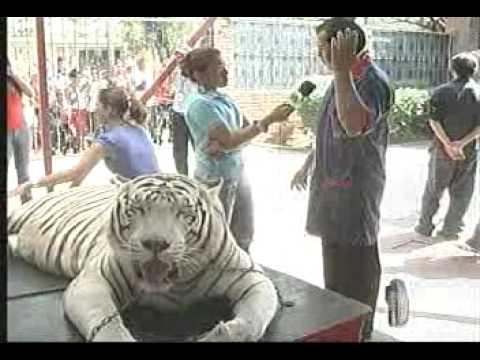 tigre con nervios en canal de tv asusta al publico managua nicaragua