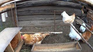 видео Сколько лет живет курица в домашних условиях в среднем?