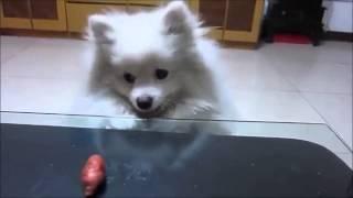 Померанский белый шпиц и колбаска )))