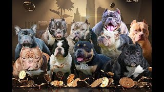 AMERICAN BULLY DOG SHOW OCT 27TH LAWRENCE,KS 2 BRC GLOBAL SHOWS AND 1 FUN SHOW