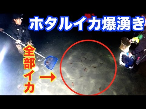 【富山湾の神秘】ホタルイカ5000匹獲れた!ついに爆湧き! #10
