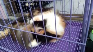 Download Video Ciri - Ciri Kucing Berhasil Kawin MP3 3GP MP4