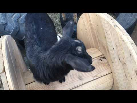 How to Band (Castrate) a Goat