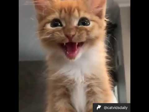 Cute Orange Kittens Meowing