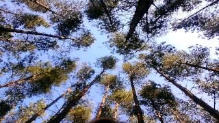 Great Goldfinch Song/ Große Stieglitz Lied/ Spiew dorosłego szczygła SOUND EFFECTS