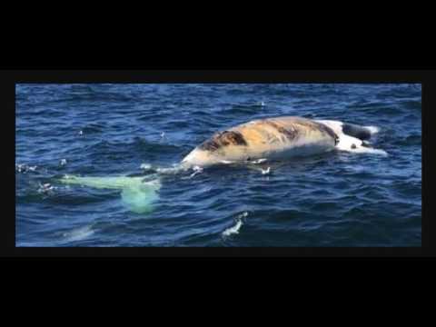 Earthcast SOS - Unprecedented North Atlantic Right Whale Die Off